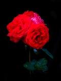 Opinião próxima a rainha vermelha Rosa fotografia de stock