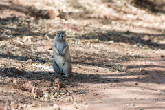 Opinião próxima um esquilo à terra macio no parque nacional de Etosha Fotos de Stock