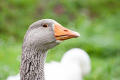 Opinião principal do close up do ganso cinzento no fundo da grama verde foto de stock royalty free