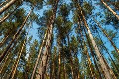 Opinião reta de céu azul de ar fresco da floresta dos troncos de árvore de baixo de Fotos de Stock