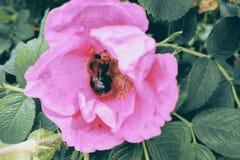 Opinião a rosa selvagem de florescência no verão, nas folhas verdes e nos espinhos novos, fundo da natureza, foco seletivo imagens de stock royalty free