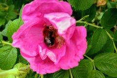 Opinião a rosa selvagem de florescência no verão, nas folhas verdes e nos espinhos novos, fundo da natureza, foco seletivo imagem de stock