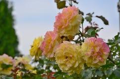 Opinião rosas de florescência, Baixa Áustria Fotografia de Stock