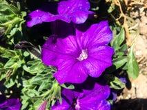 Opinião roxa das flores foto de stock