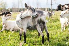 Opinião sem redução do close up da cabra cinzenta engraçada no pasto da grama verde imagens de stock