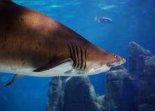 Opinião subaquática um grande tubarão marrom no aquário de Istambul imagens de stock