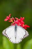 Opinião superior a borboleta listrada do albatroz (olferna do libythea de Appias) Imagens de Stock Royalty Free