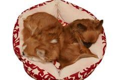 Opinião superior a chihuahua bonito do sono dois Imagem de Stock Royalty Free
