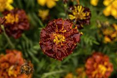 Opinião superior da flor vermelha do jardim fotos de stock royalty free