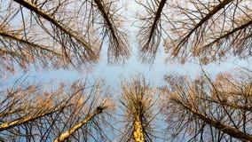 opinião superior da pista da Meta-sequoia na frente do céu azul Foto de Stock Royalty Free