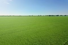 Opinião superior do campo verde da agricultura da colza rapeseed imagens de stock