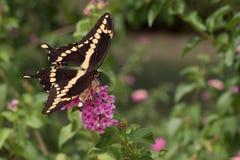 Opinião superior do close-up a borboleta de Swallowtail do gigante no Lantana foto de stock