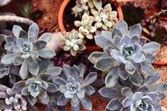 Opinião superior do echeveria das plantas carnudas Plantas carnudas plantadas na terra Fotografia de Stock