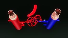 Opinião superior dos TS da artéria e da veia ilustração stock