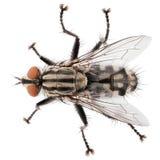 Opinião superior a mosca da casa isolada no fundo branco Fotografia de Stock Royalty Free
