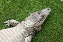 Opinião superior o crocodilo fotos de stock royalty free