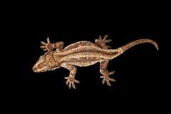 Opinião superior o geco da gárgula, preto olhar fixamente do auriculatus de Rhacodactylus Fotografia de Stock Royalty Free