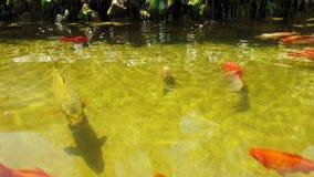 Opinião superior os peixes do ouro e outros peixes exóticos que nadam em uma lagoa video estoque