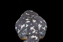 Opinião superior a serpente da víbora de poço do wagleri de Tropidolaemus Fotografia de Stock Royalty Free
