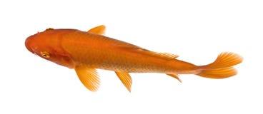 Opinião superior um peixe vermelho: Koi alaranjado fotografia de stock