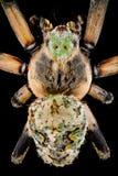 Opinião superior uma aranha do orbweaver fotografia de stock royalty free