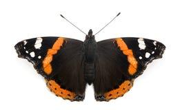 Opinião superior uma borboleta do almirante vermelho, atalanta de Vanessa Fotografia de Stock Royalty Free