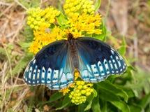 Opinião superior uma borboleta fêmea azul fabulosa de Diana Fritillary Fotos de Stock