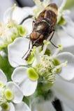 Opinião superior uma mosca da flor imagem de stock