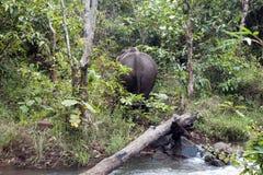 Opinião traseira o elefante asiático que anda afastado na floresta imagem de stock