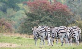 Opinião traseira três zebras, fotografada no porto Lympne Safari Park, Ashford, Kent Reino Unido imagem de stock royalty free