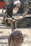 Opinião traseira um cervo fotografia de stock royalty free