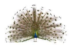 Opinião traseira um Peafowl indiano masculino Fotos de Stock