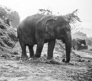 Opinião um elefante que come folhas de palmeira em um monte Fotos de Stock Royalty Free
