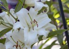 Opinião um lírio branco, Seattle Washington do close up fotografia de stock