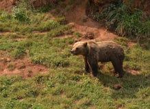 Opinião um urso na natureza foto de stock
