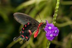 Pique Rosa Swallowtail fotografia de stock
