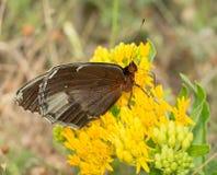 Opinião Ventral uma borboleta fêmea de Diana Fritillary Imagens de Stock Royalty Free