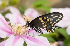 Opinião Ventral uma borboleta preta oriental masculina bonita de Swallowtail foto de stock royalty free