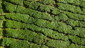 Opinião verde do reboque da paisagem da plantação de chá em Cameron Highlands imagem de stock royalty free