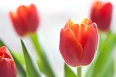 Opinião vermelha do macro das tulipas Flores da mola no fundo branco Profundidade de campo rasa, foco macio Foto de Stock Royalty Free