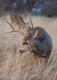 A opinião vertical um cervo do fanfarrão que consulta no outono bronzeia gramas com uma gama na distância foto de stock