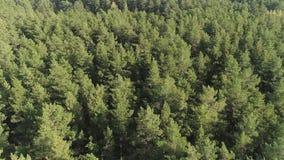 Opinión aérea del bosque salvaje verde hermoso del fondo almacen de video