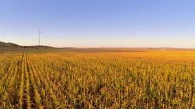 Opinión aérea del campo de maíz almacen de video