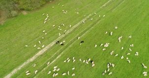 Opinión aérea del movimiento sobre la multitud de las ovejas que pastan en el campo almacen de metraje de vídeo