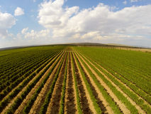 Opinión aérea del paisaje hermoso de los viñedos Imagen de archivo
