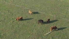Opinión aérea ganado, un grupo de vacas que caminan y que mastican tranquilamente la hierba almacen de metraje de vídeo