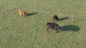 Opinión aérea ganado, un grupo de vacas que caminan y que mastican tranquilamente la hierba metrajes