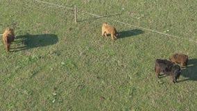 Opinión aérea ganado, un grupo de vacas que caminan y que mastican tranquilamente la hierba almacen de video