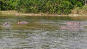 Opinión aérea hipopótamos africanos salvajes en el río cerca de la orilla con los arbustos almacen de metraje de vídeo