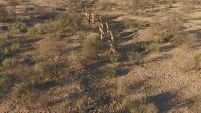 Opinión aérea jirafas almacen de metraje de vídeo